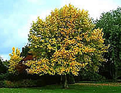 <strong>Liriodendron tulipifera</strong>